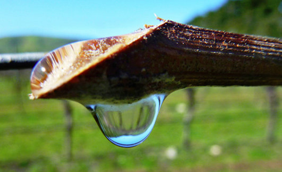 Lacrimile viţei de vie, un leac natural pentru zeci de boli! Cum trebuie consumate ca să aibă efect